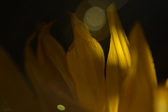 Flames (Sarah_Brigham) Tags: sunflower flower plant foliage leaf plants nature closeup macro abstract beautiful shapes lines pretty sunflowers sun nikon nikond5200 photography abstractphotography details sunlight naturallight light shadows naturephotography orange yellow color green black bright vibrant glow glowing yellowflower petals flames fire campfire surreal lensflare flare