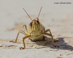 Wellsville Grasshopper 1 (strjustin) Tags: wellsville newyork upstate grasshopper insect beautiful macro canon canon60d 60d 60mm