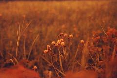Weeds (Magnus Bergström) Tags: lomography redscale xr lomographyredscalexr film 135 35mm canonae1 canon ae1 analog color colour sweden sverige värmland ekshärad hole hagfors
