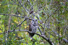 Barred Owl (Nick D'Alessio) Tags: maryland barred owl