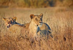 Sisters (theindiannaturalist) Tags: lioness africa lions big5 bigfive tanzania serengeti cats feline panthera sunset africansunset wildlifephotography eastafrica africageo natgeo backlight beauty nature