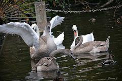We Are Family (Eleanor (No multiple invites please)) Tags: birds muteswans the longwater kensingtongardens london nikond7100 september2016 ducks mallards
