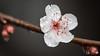 Flowering Plum (Adrian Gimpel) Tags: flower floweringplum flora pink white macro nikon nikonafsvrmicronikkor105mmf28gifed