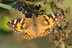 Painted Lady 2 (elhawk) Tags: mygarden wildgarden butterfly paintedlady