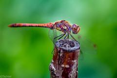 a short visit (Tschissl) Tags: austria garten insekten leoben libellen location odonata steiermark tiere garden sterreich