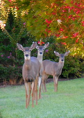 Morning Visitors (ExtraClass) Tags: deer