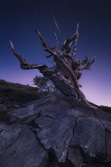 Struck by Luck (sharpedit) Tags: struck by luck ancient bristlecone pine forest tree old california ca nature landscape stars meteor shower blue hour outdoor wide angle