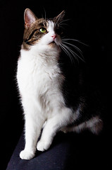 The cat is above all things, a dramatist. (akal_flickr) Tags: portrait green cat eyes