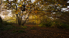 New Day (Future-Echoes) Tags: autumn essex fall leaves light morning shadow sparkeywood trees wickhambishops woodland woods