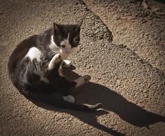 Gato (rosa casi roja) Tags: cat chat kitty gato marrakech