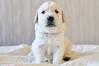 Orfey - 23 days (.:: Maya ::.) Tags: dog baby puppy golden retriever days 23 orfei mayaeye mayakarkalicheva маякъркаличева