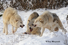 Networking (Tony Margiocchi (Snapperz)) Tags: winter food snow cold feeding arguing networking wolves communicating 400mmf35aisii europeantimberwolves