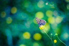 Blue Moon ButterFly [explored] (icemanphotos) Tags: flowers blue summer flower colors yellow butterfly amazing interesting fantastic view bokeh top awesome best explore winner explored