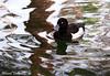 Tufted Duck (Ahmed Turki) Tags: portrait black cute art water birds canon eos rebel bahrain sweet wildlife natur ducks tufted t3i tuftedduck sparklingwater topshots mywinners محميةالعرين theunforgettablepictures alareenwildlifepark efs1855mmis canon600d ahmedturki 890904162