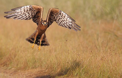 Montagu's Harrier (Circus pygargus) female takeoff (Rajiv Lather) Tags: india nature birds photography wildlife indian birding flight telephoto raptor birders grassland birdwatching harriers avian rajasthan avifauna falconiformes montagusharrier circuspygargus accipitridae birdphotographer avianphotography chappar circinae