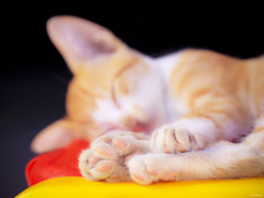 Sweet Dreams (-clicking-) Tags: sleeping cute animals yellow cat kitten dof sleep dream kitty dreamy lovely cutecat cutekitty