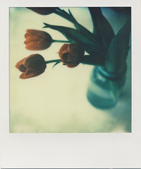 winter tulips (daveotuttle) Tags: tulips 1211 px70 impossibleproject