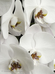 "Bright White Orchids • <a style=""font-size:0.8em;"" href=""http://www.flickr.com/photos/44019124@N04/8310992202/"" target=""_blank"">View on Flickr</a>"