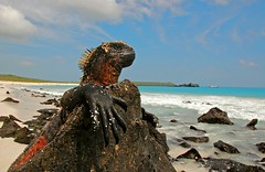 Marine Iguana enjoys the view (blinkingidiot) Tags: portrait beach closeup island galapagos espanola marineiguana mygearandme mygearandmepremium mygearandmebronze mygearandmesilver mygearandmegold blinkagain bestofblinkwinners blinksuperstars allofnatureswildlifelevel1 flickrsfinestimages1 rememberthatmomentlevel2 rememberthatmomentlevel3 vigilantphotographersunite