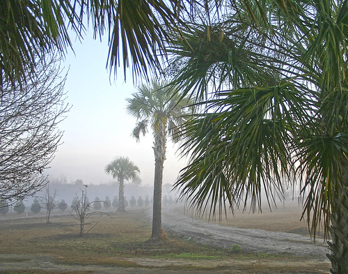 Foggy Palms1