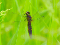 Rare dragonfly (E-PM1) Tags: japan dragonfly bugs