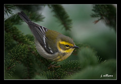 Townsend's Warbler (Tomcod) Tags: bird newfoundland bill wings tail beak feathers stjohns avian warbler songbird passerine waterfordvalley
