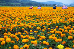 (nodie26) Tags: orange flower taiwan   hualien    yellower  lohas     loha