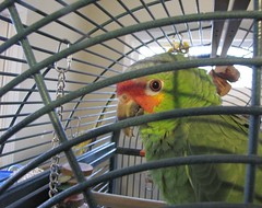 bird home toys beak feather parrot cage chain avian redloredamazon cere orangeiris