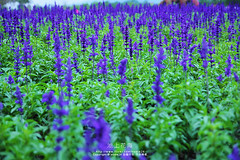 (nodie26) Tags: flowers flower purple taiwan sage       lohas    loha     aplusphoto