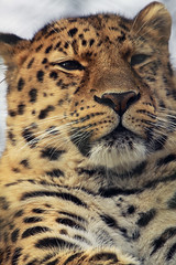 Leopard II (felixtree) Tags: cats animal cat feline wildlife spot spots leopard bigcat felixtree flickrbigcats