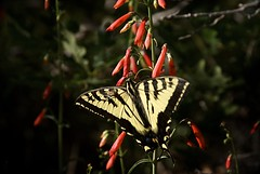 Swallowtail & Bee (Reptilian_Sandwich) Tags: flowers red wild summer plants mountains newmexico macro green leaves yellow forest butterfly insect walking outdoors morninglight wings oak solitude shadows foliage solidarity swallowtail backlighting nectaring blackrange cresttrail79