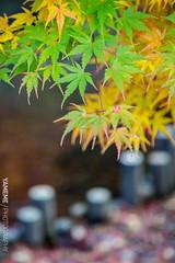 還青 Still Green / Kyoto, Japan (yameme) Tags: travel japan canon eos maple kyoto bokeh 京都 日本 kansai 旅行 關西 楓葉 eikando 永觀堂 24105mmlis 散景 5d3 5dmarkiii