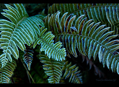 Sharp Edges [EXPLORED] (Travel for Adventure Cpl) Tags: winter cold fern frost unsharpmask