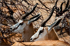 Africa || Springbuck (zedith) Tags: africa travel animals nikon wildlife biosphere safari wilderness impala namibia etosha bornfree biodiversity grazers zedith afnikkor80400mm14556vr