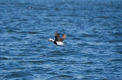 Long-tailed Duck in Brooklyn (eliotc) Tags: