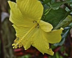 Hibiscus flower . (Franc Le Blanc .) Tags: bali flower nature yellow closeup lumix flora panasonic hibiscus bunga