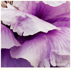 005 (imagepoetry) Tags: plant flower nature beauty garden purple blossom leafes imagepoetry a350 sonyalpha
