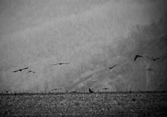 IMG_0173.jpg (budbrain) Tags: trees winter light bw bird colors birds canon landscape licht und laub herbst sigma josef 7d crow dslr landschaft bltter weiss bume schwarz wege raben atumn 400mm krhen sejrek budbrainde