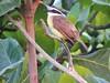 Bentivi (Claraom) Tags: bird nature natureza pássaro ave bentivi