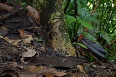 Amazonian horned frog (ggallice) Tags: amigos peru rain forest de los amazon rainforest selva frog madre herp dios amazonian surinam horned cornuta leptodactylidae ceratophrys cicra taxonomy:binomial=ceratophryscornuta
