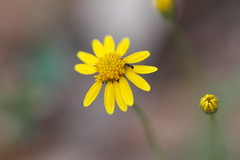 conquest (I thought it classic) Tags: flower macro nature yellow petals ant buds