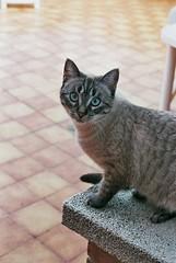 Mi gata Ginger. Ojos azules, activa, suave y un poco bizca (angelsrios) Tags: cats cat ginger gatos gata