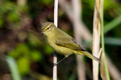 Mosquiter a la maresma / Marsh Chiffchaff (SBA73) Tags: bird au catalonia ave catalunya pajaro commonchiffchaff phylloscopuscollybita llobregat aiguamolls ocell chiffchaff parcnatural deltadelllobregat maresma mosquitercom lesfilipines sigma150500mm mosquiter