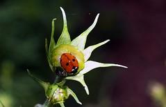Flower Bud and Ladybird (saxonfenken) Tags: flower insect dof bokeh ladybird bud bigmomma 6953 challengewinner friendlychallenge pregamewinner 6953insect