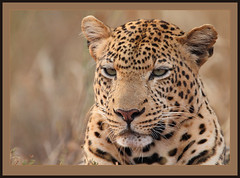 Lord of the moonless night. (Rainbirder) Tags: africanleopard pantherapardus tsavowest pantheraparduspardus rainbirder