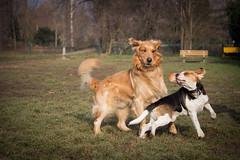 My beautiful friend (Andrea and Gauss) Tags: dog beagle goldenretriever gauss
