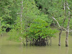 Mangrove at High Tide (berniedup) Tags: mangrove bako