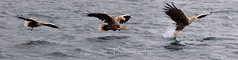 White-tailed Eagle Action (StevieC - Photography) Tags: whitetailedegale eagle haliaeetusalbicilla mull steviec