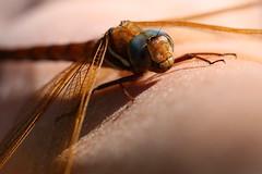 A close encounter (liisatuulia) Tags: porkkala sudenkorento dragonfly