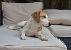 Welcome to a new family member....it's a long story! (daveayers17) Tags: rescue hunting beagle
